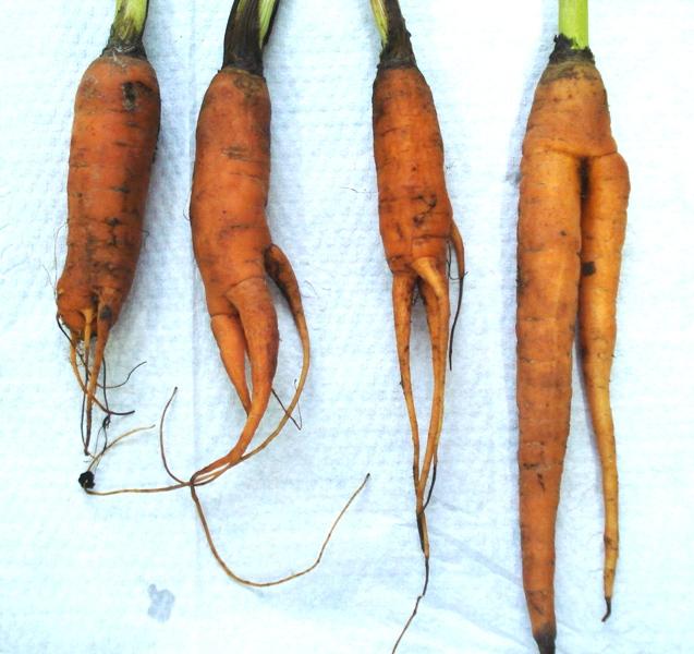 cenoura-atacada-pelos-nematoides