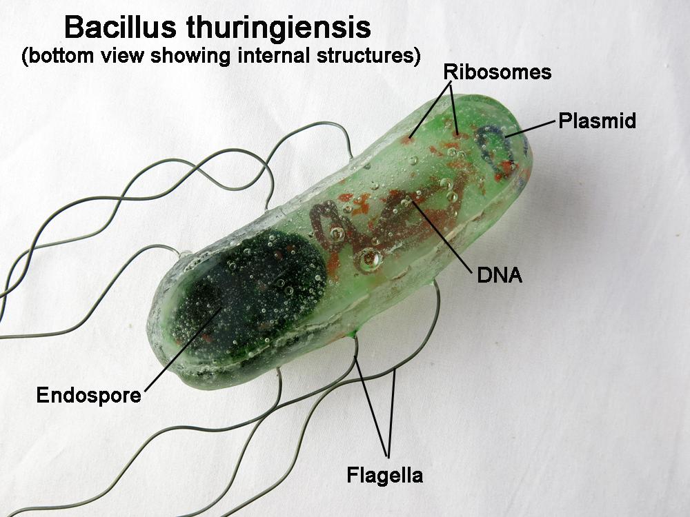 Resultado de imagem para Bacillus thuringiensis