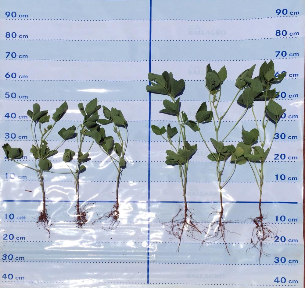 controle biológico nematoide das galhas soja.jpg
