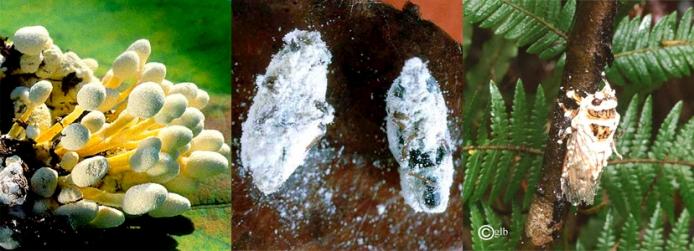 Inseticida biológico Beauveria bassiana